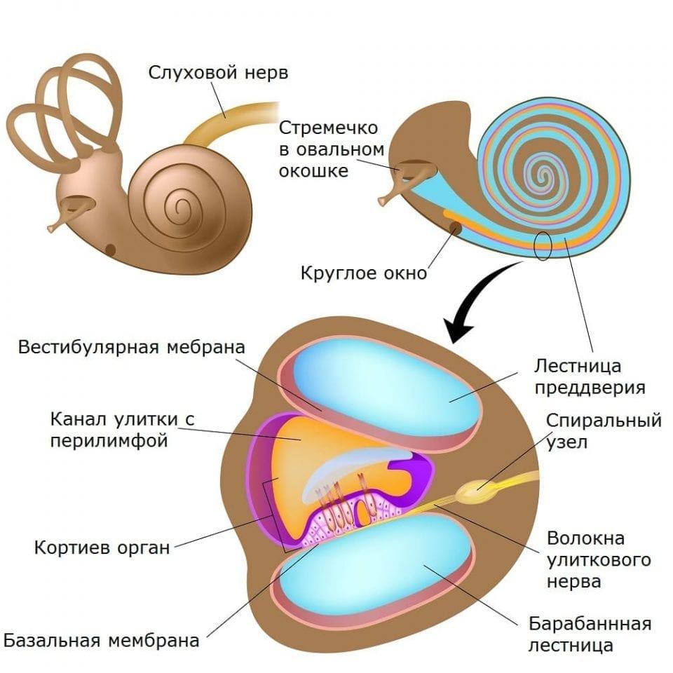 Анатомия улитки и внутреннего уха