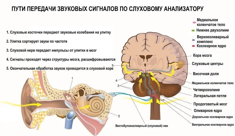 Путь вызванных потенциалов по узлам слухового анализатора
