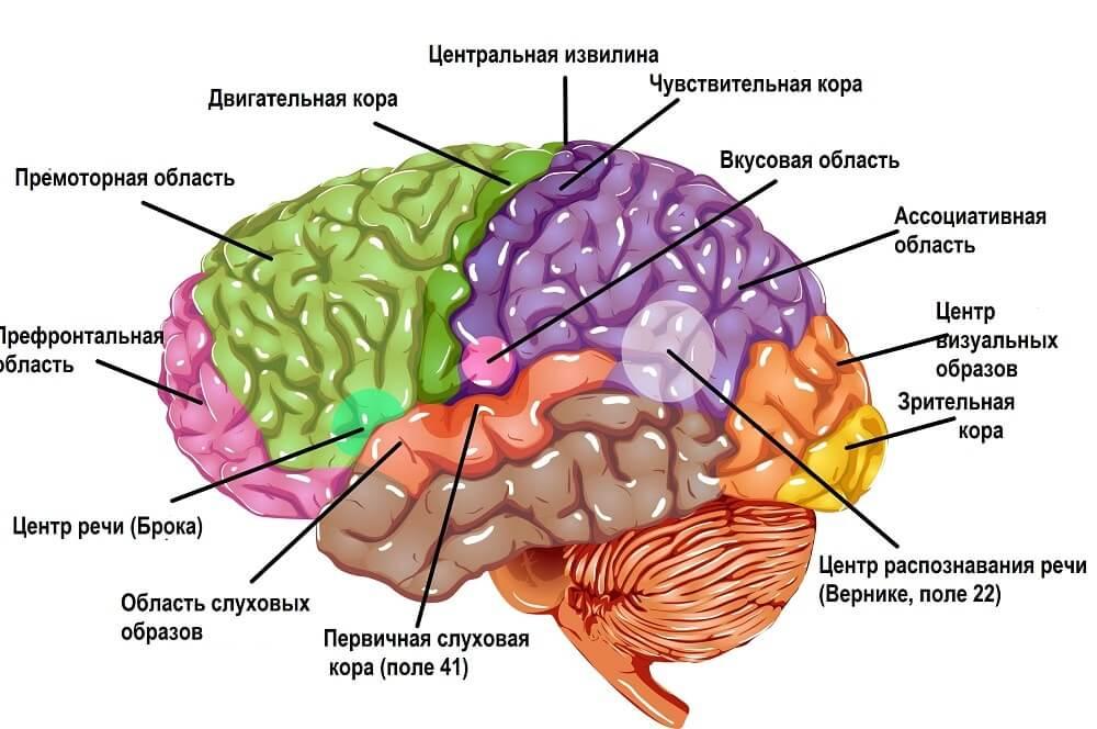 Схематическая карта отделов мозга