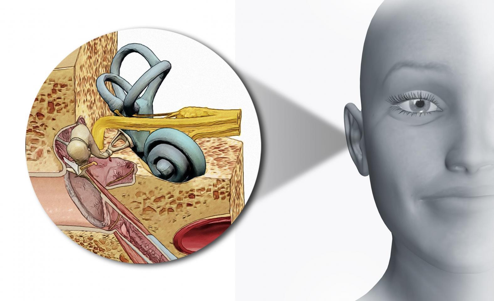 схематическое изображение внутреннего уха