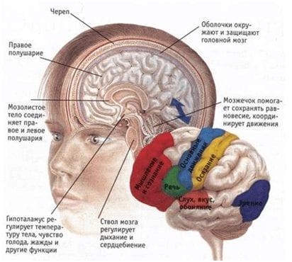 Схема структуры головного мозга