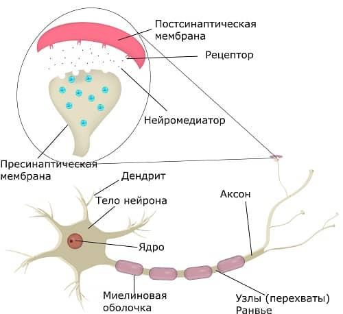Нейрон и синапс