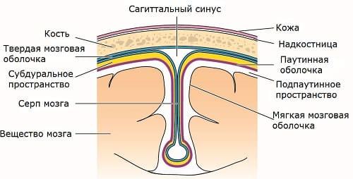 Строение среза мозга