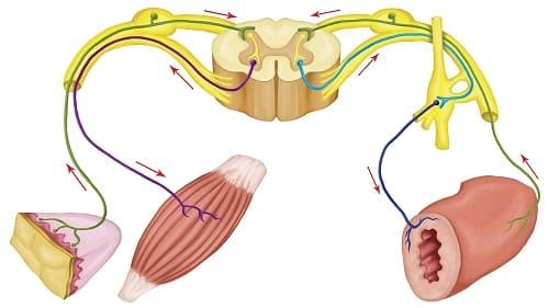 Нервные волокна от мышц кожи и кишечника