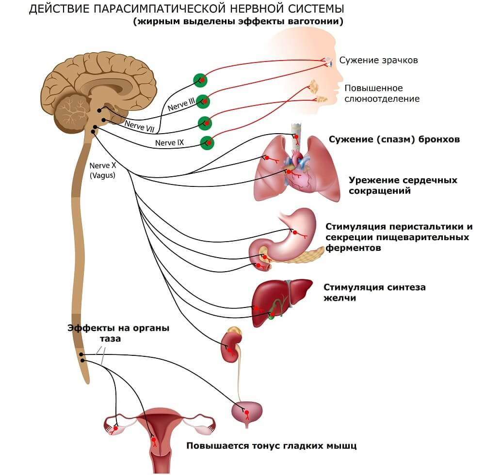 Эффекты, которые оказывает парасимпатика