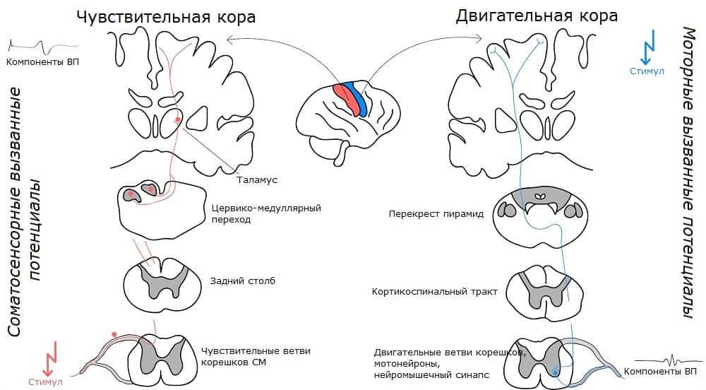 Соматосенсорные и моторные вызванные потенциалы