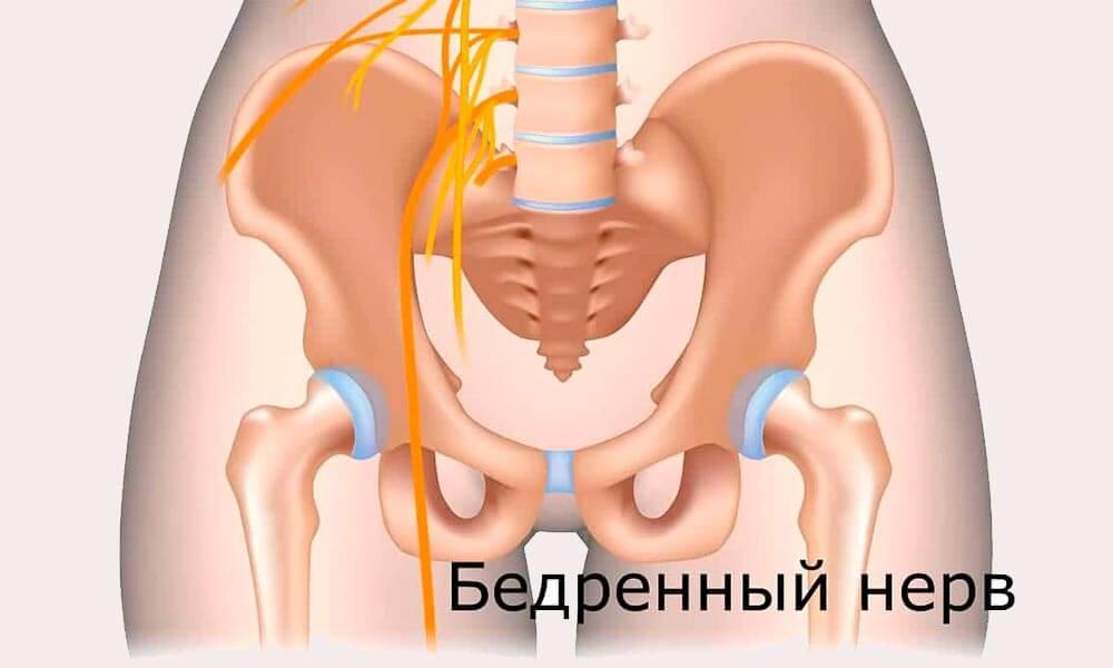 Анатомия бедренного нерва
