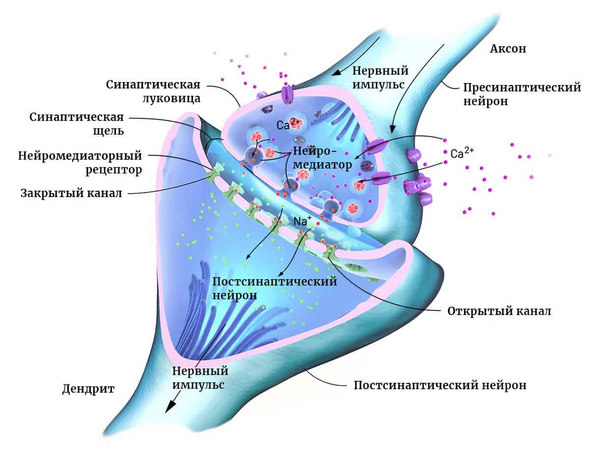 Принцип функционирования синапса