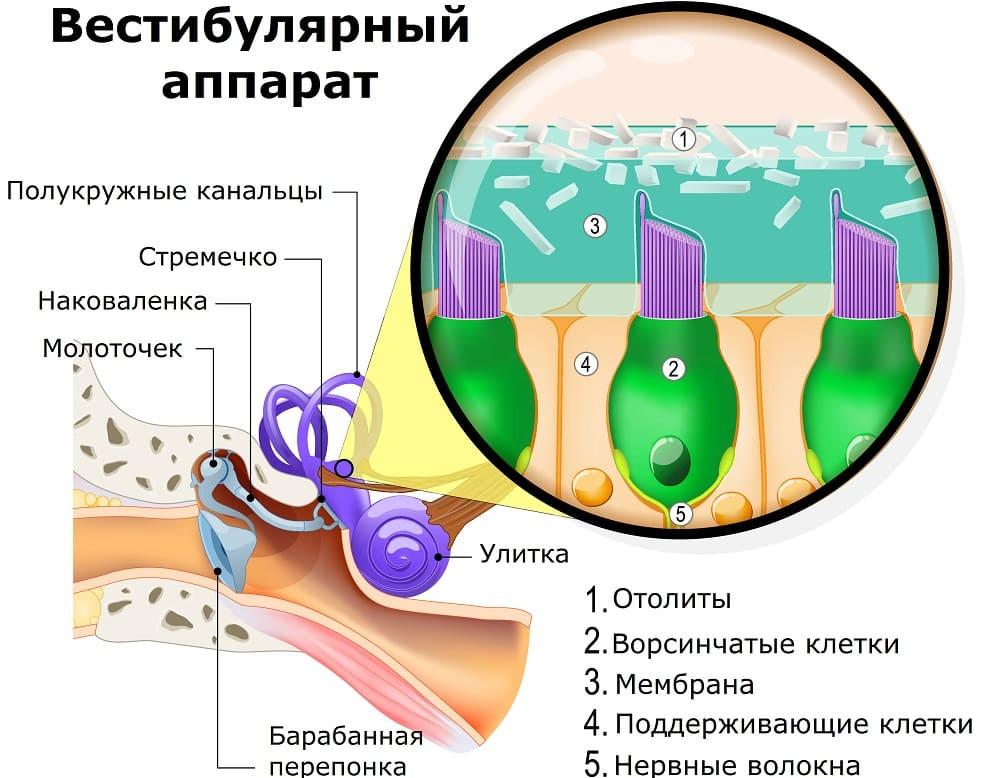 Вестибулярный аппарат