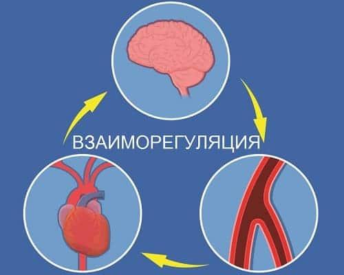 Регуляция внутренних органов вегетатикой